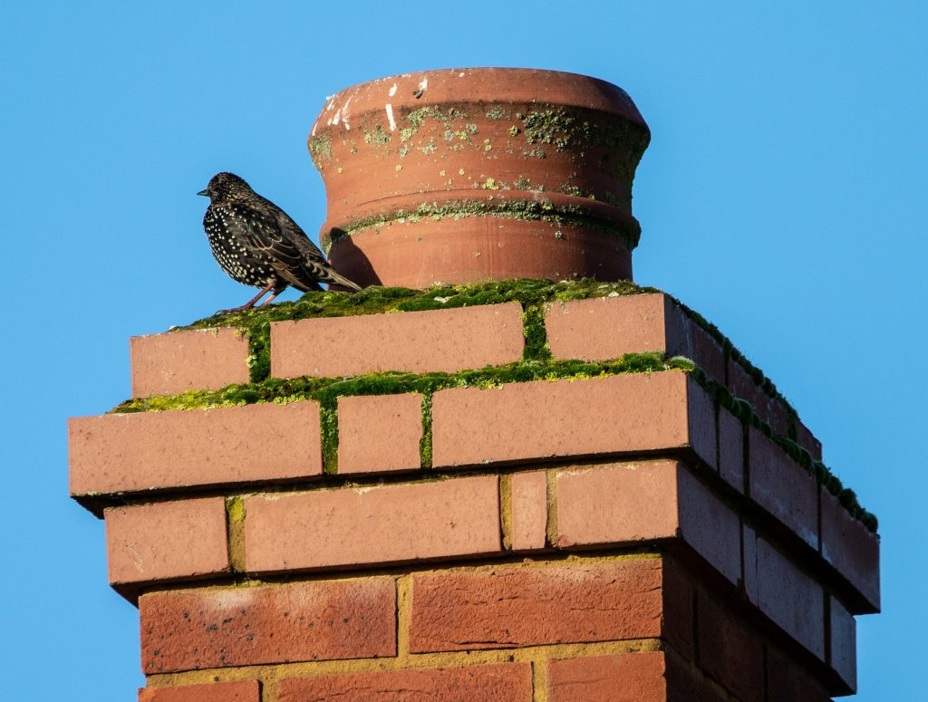 A starling sitting on the top of a brick chimney. Migratory birds may choose to build their temporary homes in chimneys and if that bird is protected by law, the homeowner must wait until the birds have left the nest to clean out the remains and put install birdproofing equipment.