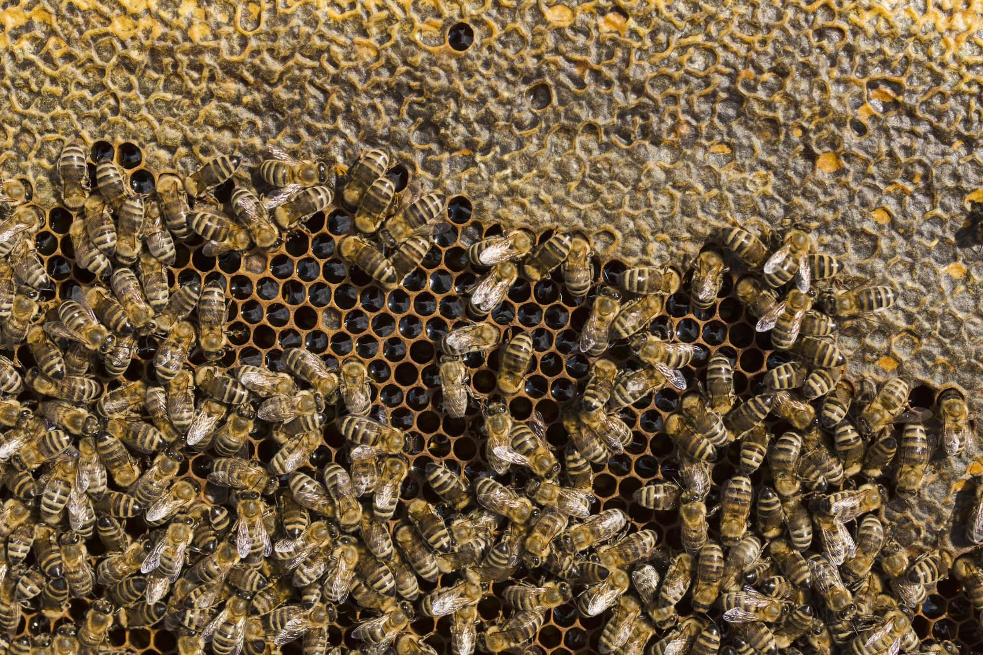 Honey bees filling their hive with honey and nectar. When bees decide to build their nest inside a chimney, it could cause problems for the homeowner.