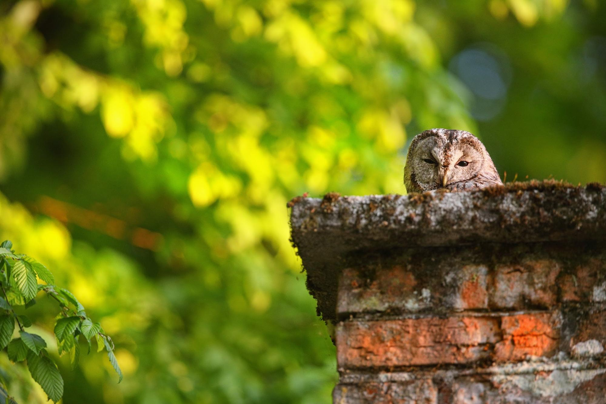 An owl who has built a nest in the crown of an old chimney. Birds who build their nests inside of active chimneys can put themselves and the homeowner at risk.